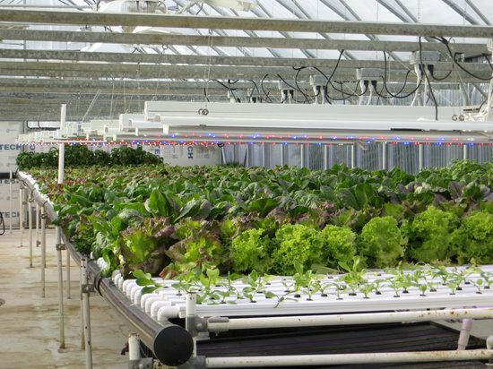 Chena Hot Springs Resort: Greenhouse where they grow all their vegetables