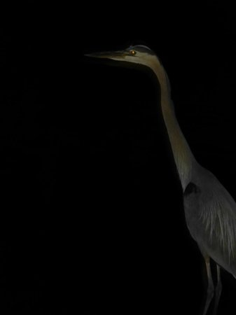 Hudson Dockside Inn: Great Blue Heron, hanging out on the dock outside my room