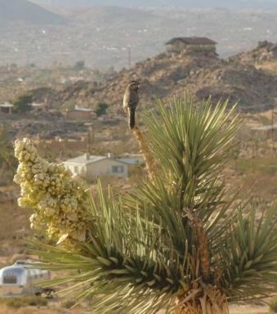 Sacred Sands: Northern flicker perched on a Joshua tree outside our room.