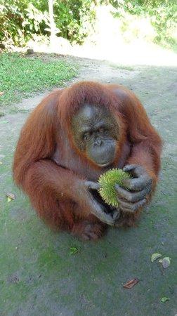 Wild Orangutan Tours - Day Tours: Eating durian. mmmmmm