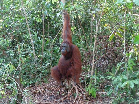 Wild Orangutan Tours - Day Tours: big, sweet male