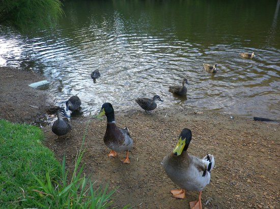 Riverview Tourist Park: friendly ducks