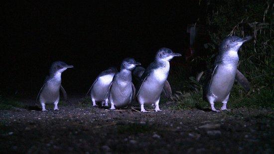 Bicheno Penguin Tours : On Parade
