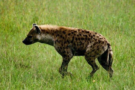 Travel Wild Safaris- Day Tours: Hyena in the Masai Mara
