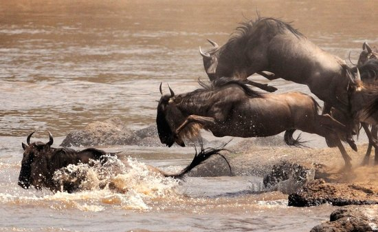 Travel Wild Safaris- Day Tours: Great Migration crossing the Mara River