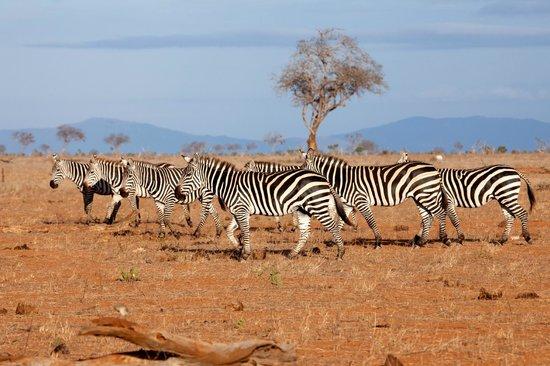 Travel Wild Safaris- Day Tours: Zebra on the plains