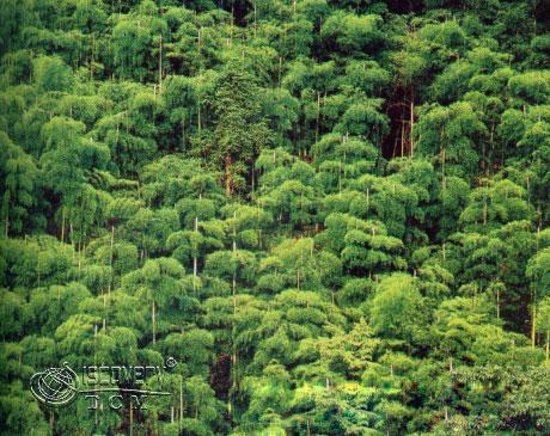 Foto de Changning Bamboo Forest Natural Reserve
