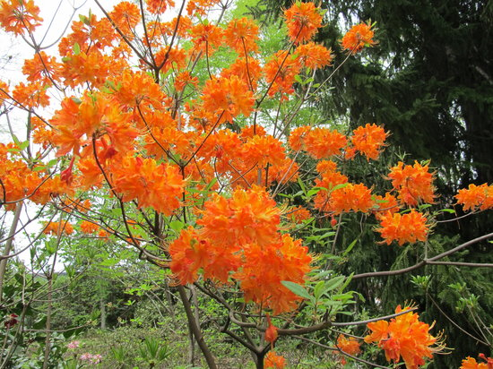 UNC Charlotte Botanical Gardens: Flame Azalea