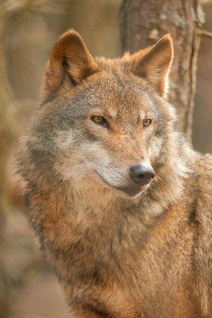 Highland Wildlife Park: European Wolf