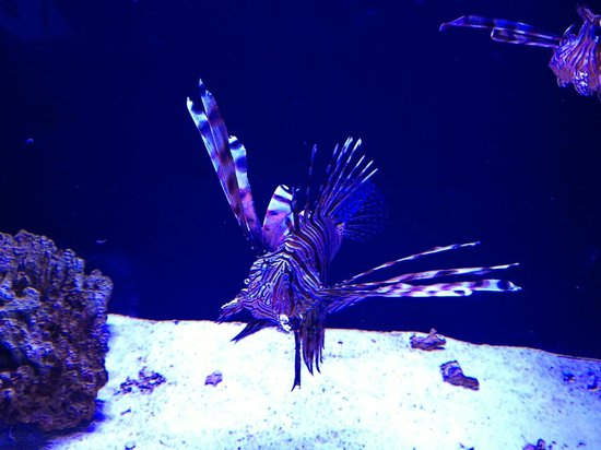 Portland Aquarium: Lion Fish