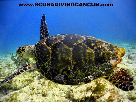 Cancun Scuba For You: turtle