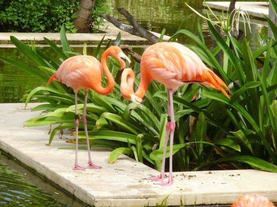 IBEROSTAR Paraiso Del Mar: Flamencos rosas