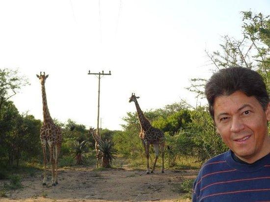Pezulu Tree House Game Lodge: girafas embaixo da casa na arvore
