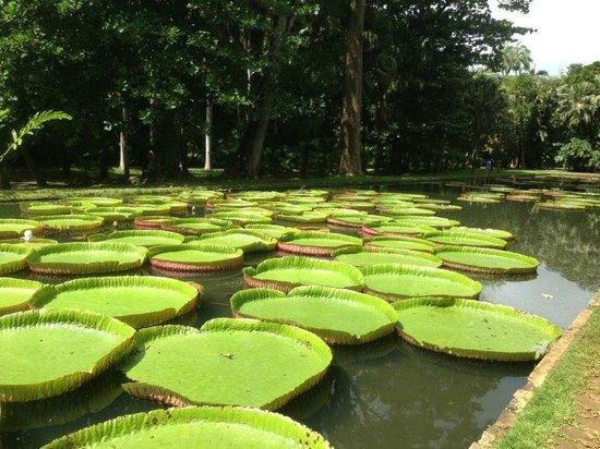 SSR Botanic Garden: Giant water lilies!