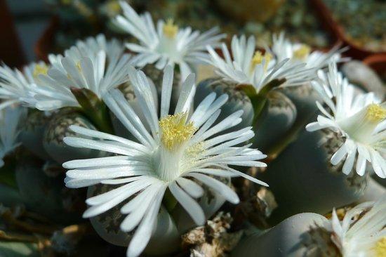 Stellenbosch University Botanical Garden: Lithops - Living stones