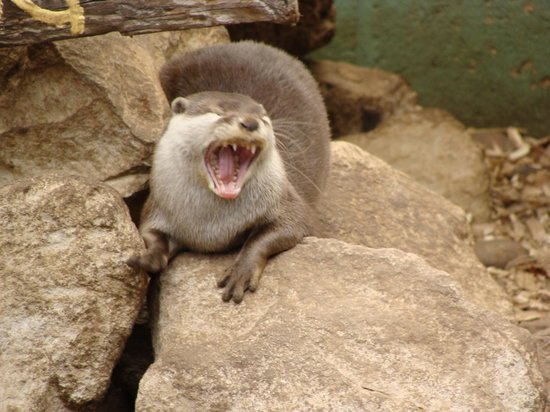 Laughing Otters Photo | Free Download