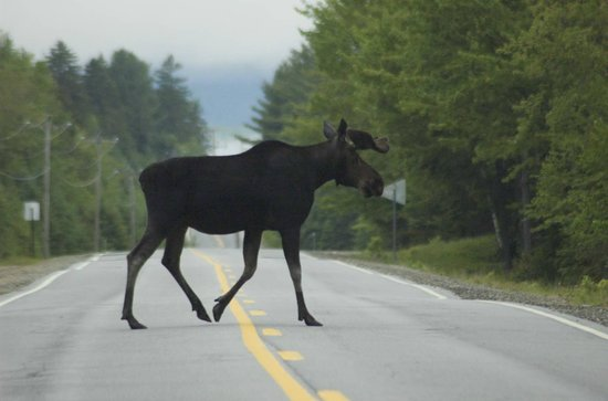 Gorham Moose Tours : Photo by Laurie Blake
