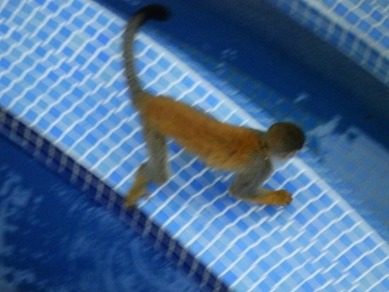 Pacifico Colonial: MONKEY VISITING POOL