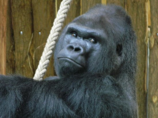 Berlin Zoological Garden : Gorilla enclosure
