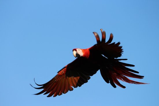 Lapa Rios Ecolodge Osa Peninsula: Macaws flew by our deck every day