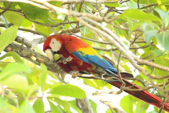 ‪‪Lapa Rios Ecolodge Osa Peninsula‬: This macaw spent about 30 minutes eating in the tree above our deck!‬