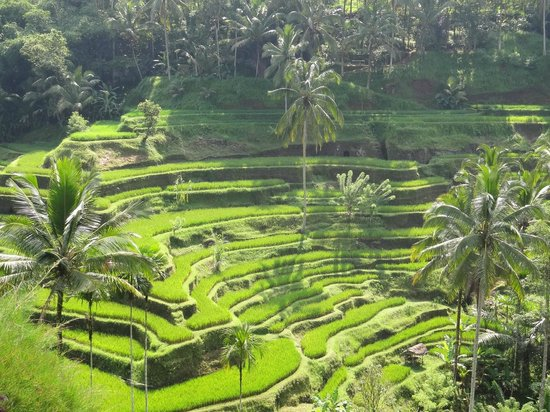 Bali Breeze Tours: Beautiful terraced rice paddies.