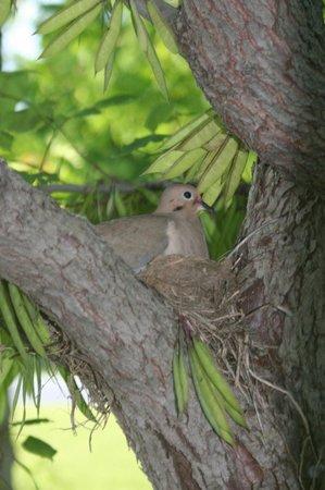 Historic Nauvoo : Nesting Dove