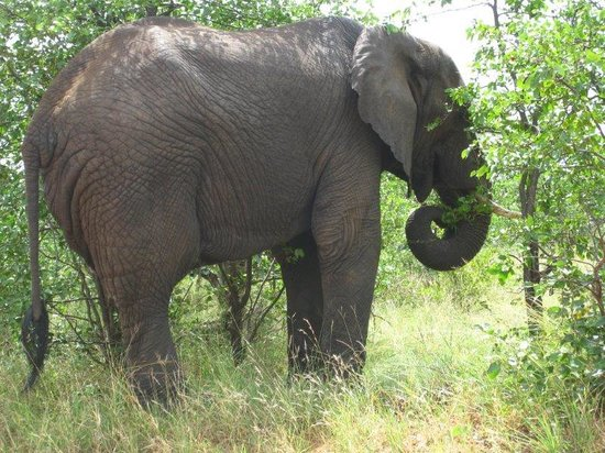 Wolhuter Wilderness Trail: look at the dense habitat, elephant up close