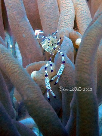 Gili Scuba Diving: tiny lil anemon shrimp