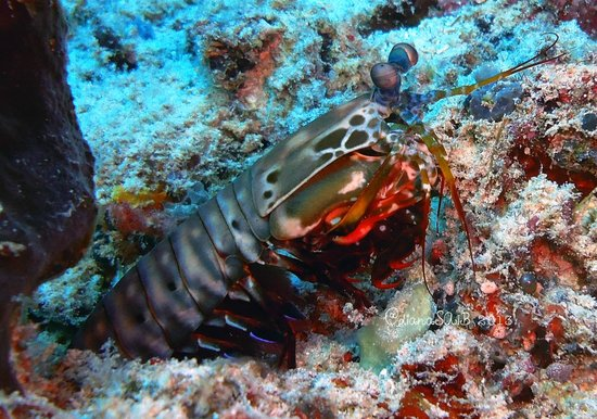 Gili Scuba Diving: mantis shrimp