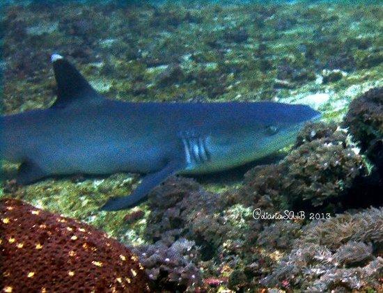 Gili Scuba Diving: met 4 big white tip sharks at manta point. didn't meet any shark at shark point.