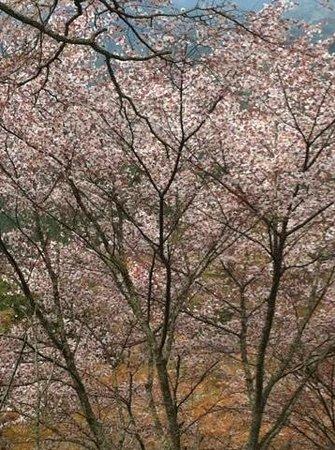 Yoshino: 上千本のまだ残っていた桜です