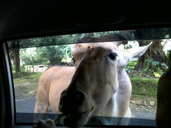 Indonesia Safari Park Cisarua: Animal at the car window