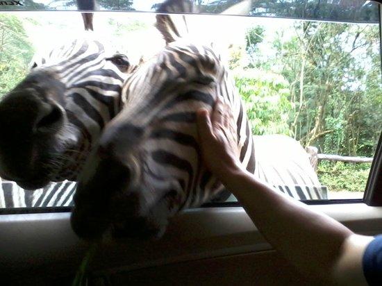 Indonesia Safari Park Cisarua: Touching zebras