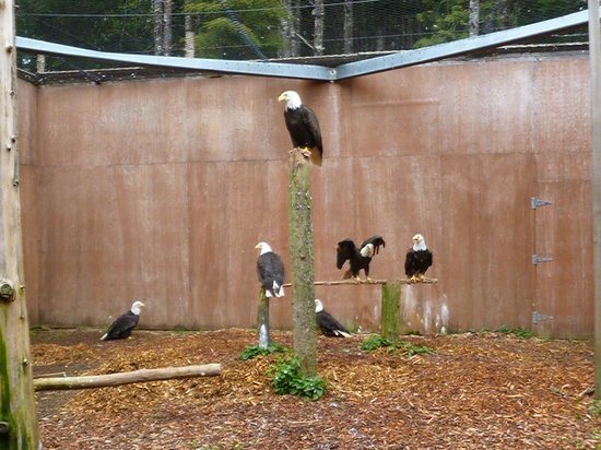 Prince Rupert Wildlife Rehab Shelter: Inside the bald eagles facility