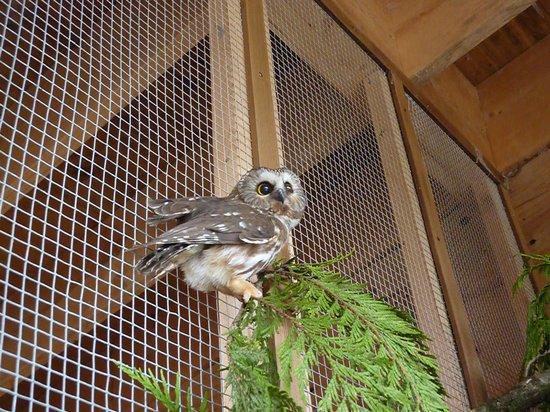 Prince Rupert Wildlife Rehab Shelter: Saw whet owl