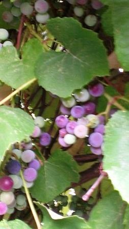 Grape Arbor Bed and Breakfast: Ripening Grapevines