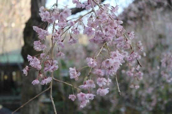 Inokura Onsen: blossom