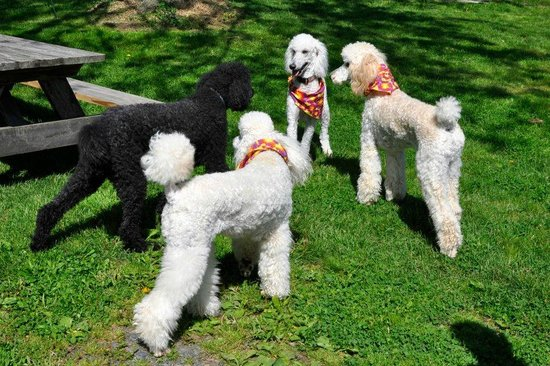 Inn At The Ridge: OUR PET FRIENDS VISITING -POODLE'S GALORE