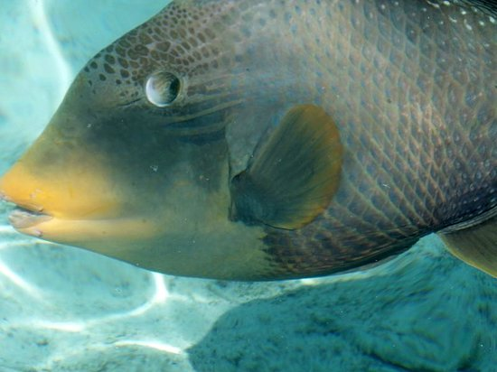 Cinnamon Hakuraa Huraa Maldives: The friendly trigger fish