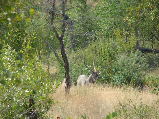 Magnificent Waterbuck bull below Muweti Bush Lodge