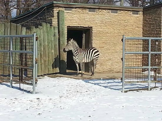 The Buffalo Zoo: Zebra