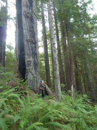 Sinkyone Wilderness State Park: burned out, living redwood