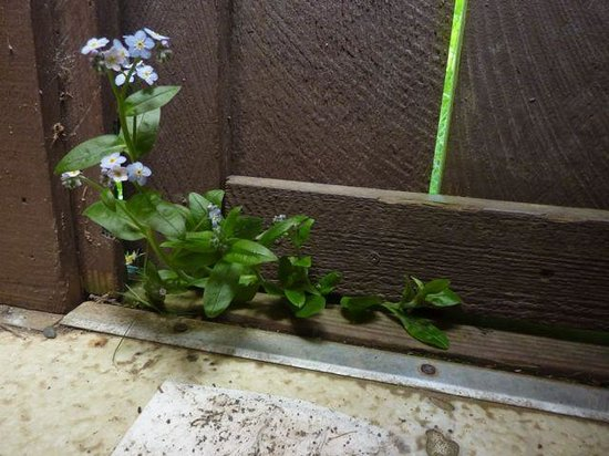 Sinkyone Wilderness State Park : Forget-me-nots growing in an outhouse
