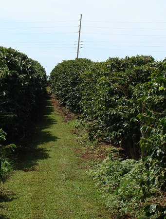 Kauai Coffee Company: coffee beans before they are coffee