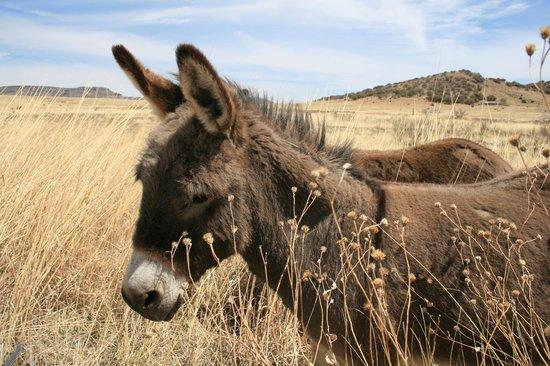 VERANDA HISTORIC INN: cute donkey!!!