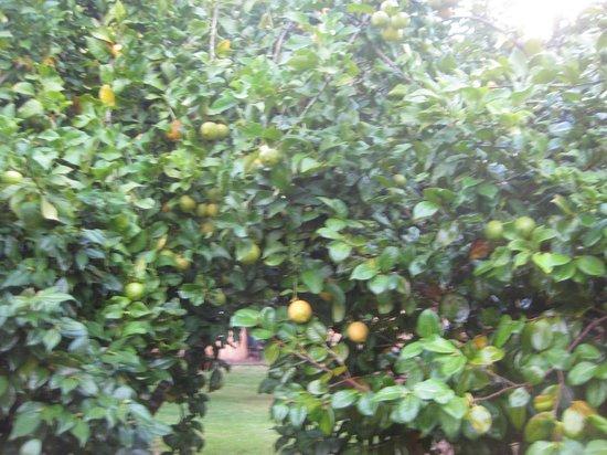 Pemberton Lavender and Berry Farm: Lemon tree