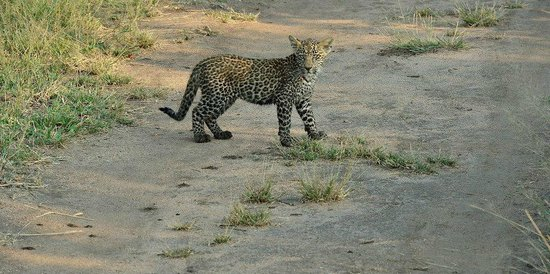 Cheetah Plains: Leopard Cub