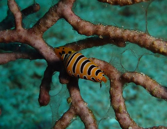 Blue Bay Divers: Tigerkauri