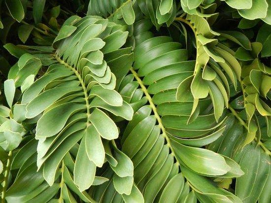 Na Aina Kai Botanical Gardens: Cardboard plant